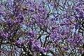 Jacaranda mimosifolia 1.jpg
