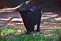 Jaguar (Panthera onca) negra.jpg