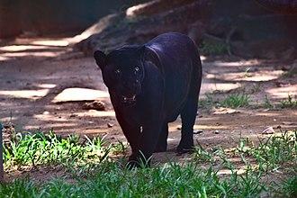 North American jaguar - Image: Jaguar (Panthera onca) negra