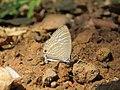 Jamides celeno - Common Cerulean mud puddling at Peravoor (4).jpg