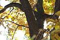 Japanese Persimmon (Diospyros kaki) (22430483587).jpg