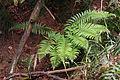 Japanese tassel fern (Polystichum polyblepharum) (1) (17040189335).jpg