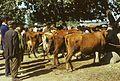 Jarmark – krowy - Sokółka - 000722s.jpg