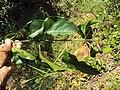 Jasminum malabaricum 15.JPG