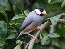 Java Finch (Padda oryzivora) RWD
