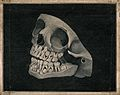 Jaw and part of skull of an animal. Engraving by I. Parks af Wellcome V0018762.jpg