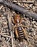 Ammopelmatus fuscus - Photo Calibas, לא ידועות מגבלות של זכויות יוצרים  (נחלת הכלל)