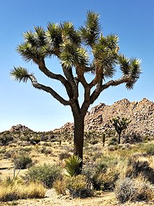 Joshua Tree Nationalpark IMG 20180413 143227.jpg