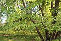 Juglans ailanthifolia 01.JPG