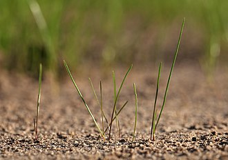 Graminoid - Germinating fescue grass with long, blade-like leaves