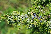 Juniperus communis, Aveyron, France A.jpg