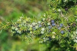 Juniperus communis, Aveyron, France A