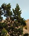 Juniperus excelsa Simeiz Crimea.jpg