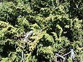 Juniperus monticola.jpg