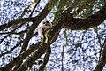 Juvenile Spotted Owl (14576051066).jpg