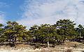 Kızılçam - Pinus brutia 2.jpg