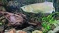 Kaliningrad Zoo - Osteoglossum bicirrhosum and Pterygoplichthys gibbiceps.jpg