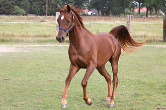 Equine coat color genetics - The e/e genotype at the Extension locus, which disables eumelanin production in the hair, most commonly results in chestnut coats, as here.