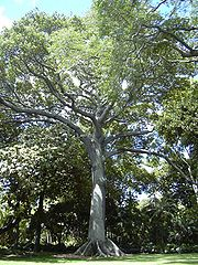 https://upload.wikimedia.org/wikipedia/commons/thumb/2/23/Kapok_tree_Honolulu.jpg/180px-Kapok_tree_Honolulu.jpg