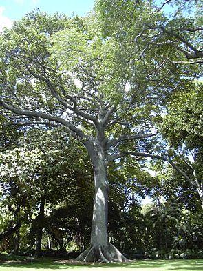 Kapok tree Honolulu.jpg
