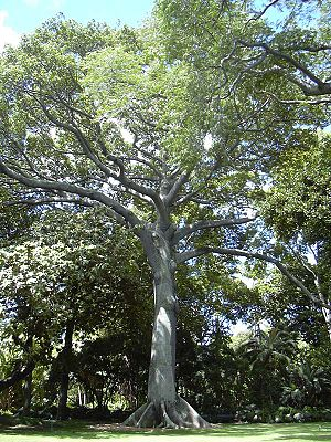 Ceiba pentandra - Kapok planted in Honolulu, Hawai'i