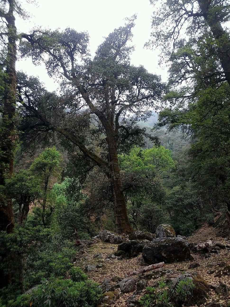 Karsu oak rings.jpg
