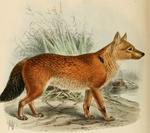 Keulmans Cuon alpinus dukhunensis.png