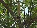 Kigelia africana (2558517450).jpg