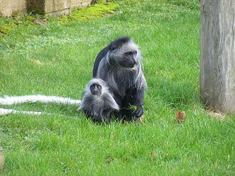 King colobus - Image: King colobus monkeys