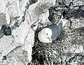 Kittiwake on nest - geograph.org.uk - 874496.jpg