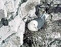 Kittiwake on nest - geograph.org.uk - 874496.jpg