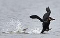 Kleptoparasitism Great Cormorant.jpg