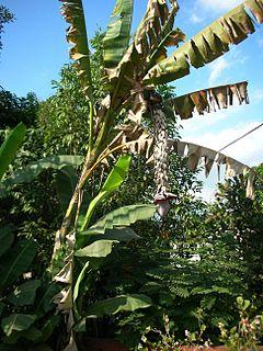 <i>Musa balbisiana</i> species of plant
