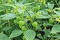 Kluse - Physalis philadelphica - Tomatillo 10 ies.jpg