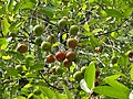 Kokum Plant.jpg