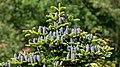 Korean fir - top with cones.jpg