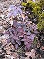 Korina 2013-03-05 Mahonia aquifolium 5.jpg