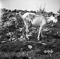 Koza s torbo ali boršo (da mladič ne sesa) 1949.jpg