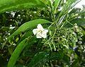 Kraussia floribunda, blom, a, Manie van der Schijff BT.jpg