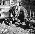 Kravo podkujejo (sprednje noge), Osp 1949.jpg