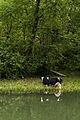 Kuh am Alten Rhein.jpg