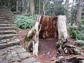 Kumano Kodo pilgrimage route Daimon-zaka World heritage 熊野古道 大門坂50.JPG