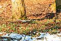 Kvetoucí sněženky v PP Sněženky ve Vysokém lese 36.jpg