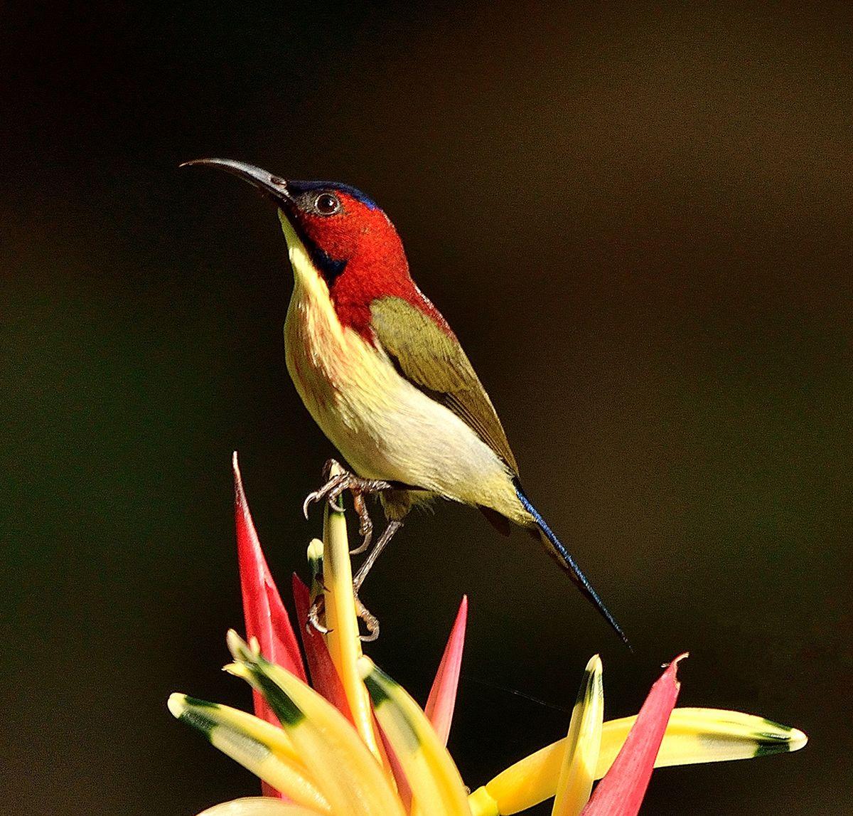 Lovely sunbird - Wikipedia