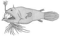 L polypogon