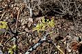 La Oliva Lajares - FV-10-Calle Central - Euphorbia regis-jubae 02 ies.jpg