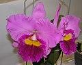 Laeliocattleya Irene Finney x Time Life x Potinara Elegant Dancer -香港沙田洋蘭展 Shatin Orchid Show, Hong Kong- (9157036017).jpg
