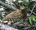 Lagopus muta in Mount Tsubakuro 2000-05-03.jpg