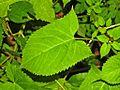 Lamiaceae - Salvia glutinosa.JPG