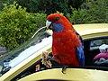 Lamington - papoušek - panoramio.jpg